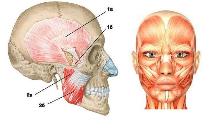 Жевательные и мимические мышцы
