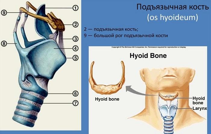 Фото подъязычной кости